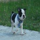 ขายลูกสุนัขพันธุ์บอสตัน เทอเรีย