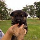 ลูกสุนัขเยอรมันเชพเพิร์ด เพศเมีย