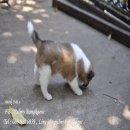 ลูกสุนัขบางแก้วสายเลือดไทยแลนด์แชมป์ ฮอลลี่,โตโน่ (ว่างจอง) โครงสร้างดี Line id : palmybangkaew