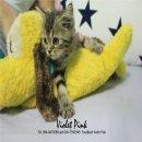 แมวสก็อตติช - ช็อตแฮร์