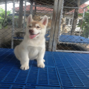 ขายลูกสุนัขพันธุ์ไซบีเรียนฮัสกี้แท้ สายประกวด โครงสร้างใหญ่ มีใบเพ็ดดีกรี สายเลือดแชมป์  0894781036