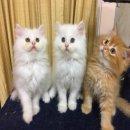 ลูกแมวเปอเซียอ้วนๆพร้อมย้ายบ้าน