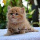 เปิดจองลูกแมวเปอร์เซีย เพศเมีย สีส้ม