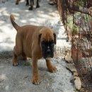 จำหน่าย ลูกสุนัขพันธุ์ บ็อกเซอร์ ( Boxer )