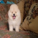 puppy.villa ปอมแท้ เกรดสวย เพศผู้ รับประกันสุขภาพ