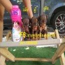 น้องมิเนียเจอร์ พันธุ์แท้ ไซส์เล็ก สีช็อคโกแลต สวยๆ มี 3 ตัว โทร.081-1955028