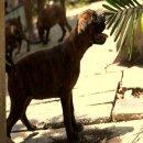 จำหน่าย ลูกสุนัข Boxer คุณภาพเยี่ยมสายเลือดแน่นๆ