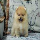 ★★★Dreamteam Pomeranian★★★ ปอม เกรดประกวดสายเลือดเยี่ยม