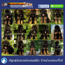 !!!!!AAA-ลูกสุนัขเยอรมันเชพเพิร์ด มีจำหน่ายเกือบตลอดปี-AAA!!!!!