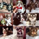 ℭℋℷAℋOℒℷℭ ชิวาวาขนยาว Puppies Available สายเลือดดีเกรดประกวด รับประกันสุขภาพ วัคซี