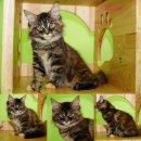 ขายแมวเมนคูนเพศเมีย