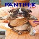 ขายลูกบูลด็อกเพศผู้ลายเสือราคาพิเศษ Bigbonebulldog