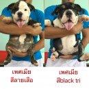 ขายลูกสุนัขบลูด็อกเพศเมีย พ่อพันธุ์เจ้าBerlin จากฟาร์มbigbone ราคาพิเศษ สอบถาม line:patcha.pinit