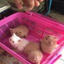 แมวสก็อตติ๊ดโฟ ราคา 6000 อายุ2เดือน เพศชาย 3 ตัว หูพับ1ตัวหูตั้ง2ตัวทำวัคซีน1เข็มแล้ว