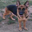 ขายแม่พันธ์ุสุนัขเยอรเชพเพริด อายุ 3 ปี โครงสร้างสวยมาก ใบเพ็ดชมพู ราคา48,000 บาท