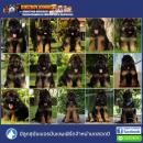!!!!!AAA-ลูกสุนัขเยอรมันเชพเพิร์ด มีจำหน่ายตลอดปี-AAA!!!!!