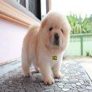ลูกสุนัข เชาเชา สีครีม 40 วัน อ้วนๆ น่ารักๆ