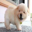 ลูกสุนัข เชาเชา สีครีม 45 วัน อ้วนๆ น่ารักๆ