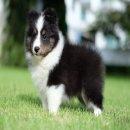 แบ่งจำหน่าย ลูกสุนัข Shetland Sheepdog เกรดประกวด