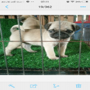 ขายลูกสุนัขปั๊กแท้เกรดคุณภาพผู้2เมีย3อายุ50วัน5900