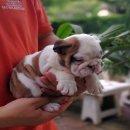 ขายลูกสุนัขบูลด็อกน่ารักๆ โครงสร้างดี หัวโต  สนใจติดต่อ 085-2213456 อ้อ ID LINE : ohh456