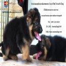 #German Shepherd Over Size# Phitsanulok