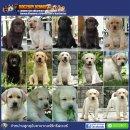 !!!!!AAA-มีลูกสุนัขลาบาดอร์ จำหน่ายเกือบตลอดปี และมีพ่อพันธุ์รับผสม-AAA!!!!!