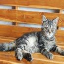 แมวอเมริกัน ชอร์ตแฮร์ ผสม เปอร์เซีย เพศผู้ อายุ3เดือน ตัวที่1
