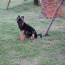 ลูกสุนัขเยอรมันเชพเพอด เพศเมีย
