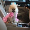 Hero'pom จำหน่ายลูกสุนัขปอมแท้หน้าหมี ไซร้ทีคัพ สายเลือดดี รับประกันสุขภาพนาน 30 วัน Line : @heropom