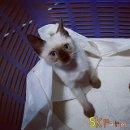 (เปิดจองลูกแมววิเชียรมาศ) แมวมงคลไทยโบราณสายพันธุ์ไทยวิเชียรมาศแท้ Siamese Cat (จดทะเบียนพาณิชย์)