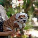 ขายลูกสุนัขบลูด๊อกน่ารักๆ เพศผู้ ราคาไม่แพง