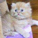 Garfield ลูกแมวเปอร์เซีย เพศผู้