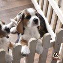 แบ่งจำหน่าย ลูกสุนัขพันธุ์บีเกิ้ล(Beagle) เกรดประกวด และเลี้ยงเล่น สำหรับผู้สนใจ
