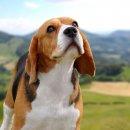 JAVABEAGLE KENNEL มีลูกสุนัขพันธ์บีเกิ้ล(BEAGLE)ครอกใหม่แบ่งจำหน่าย เกรดประกวด และเลี้ยงเล่น