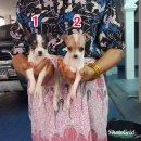 ลูกแจ็คผสมชิวาวา ซนๆน่ารัก(เมีย) ชุดที่ 7 จาก kankarn club