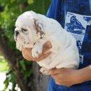 ขายลูกสุนัขบูลด็อกน่ารักๆ มีทั้งเพศผู้และเพศเมีย ราคาไม่แพง