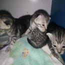เปิดจองน้องแมวสก็อตติชโฟลว์