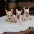 HeroFrench จำหน่ายสุนัขเฟรนซ์บลูด๊อก รับประกันสุขภาพนาน 30 วัน line : heropom1