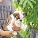 ขายลูกสุนัขบูลด็อกน่ารักๆ สนใจติดต่อ ID Line: ohh456 หรือติดต่อเบอร์โทร 085-2213456