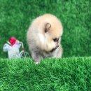 ปอมเมอเรเนี่ยนเพศเมียหน้าหมีสุด 100% สั้นเตี้ย ขนแน่นๆ