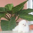 น้องผู้หญิงค่ะตัวนี้ ตัวจริงไซด์เล็ก สีขาว น่ารักสุดๆ Pomขาว By Jarr white pom home