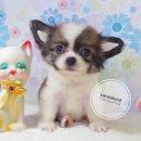 (( บ้านทองเหลาชิวาวา )) เปิดจอง ดช.ยูโร สายไต้หวันแท้ สีขาวน้ำตาล ตาโต หน้าการ์ตูน น่ารักมากเลย!!!!