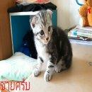 เปิดขาย-จองน้องแมวสก็อตติชโฟลว์