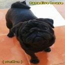 พ่อพันธุ์ Pugดำ  Paradise house pacquiao ( ปาเกียว )  รับผสม