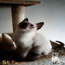 แมวมงคลไทยโบราณสายพันธุ์ไทยวิเชียรมาศ หรือ Siamese Cat (จดทะเบียนพาณิชย์กับกรมพัฒนาธุรกิจการค้า)