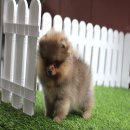 ปอมหน้าหมี อายุ 2 เดือน หน้าสั้นทรงสวยมาก ขนแน่นสุดๆ Line : @heropom Tel : 0890888441