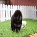 ปอมหน้าหมี อายุ 2 เดือน เกรดเลี้ยงเล่น แบคแทน ราคาไม่แพงครับ สอบถาม Line : @heropom Tel : 0890888441