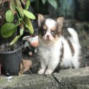 For sale Chihuahua long hair ชิวาวา น่ารักขนฟู