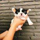 frenchbulldogเพศเมียสีขาวดำ ราคา20,000บาทมีใบเพ็ด